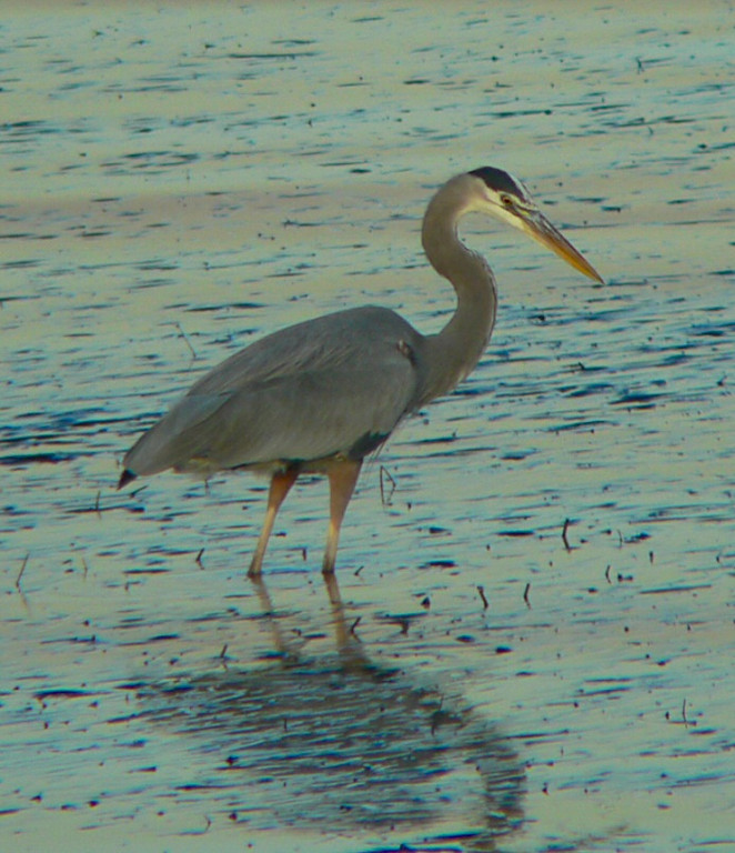 Great Blue Heron during  late afternoon at low tide, Cabrillo Beach.