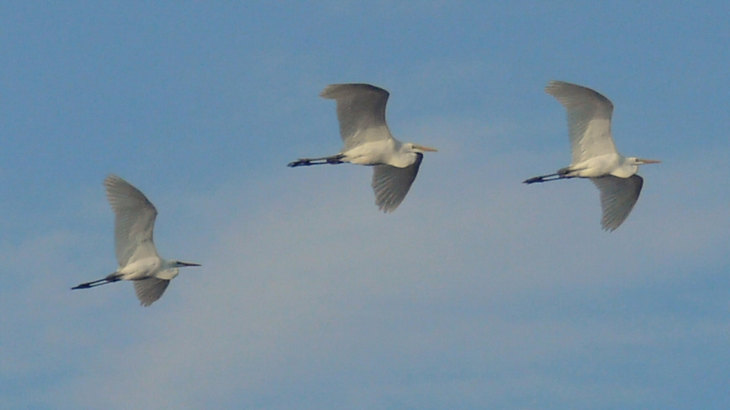 Great Egrets in the late-afternoon sun over Machado Lake, Harbor Park, CA.
