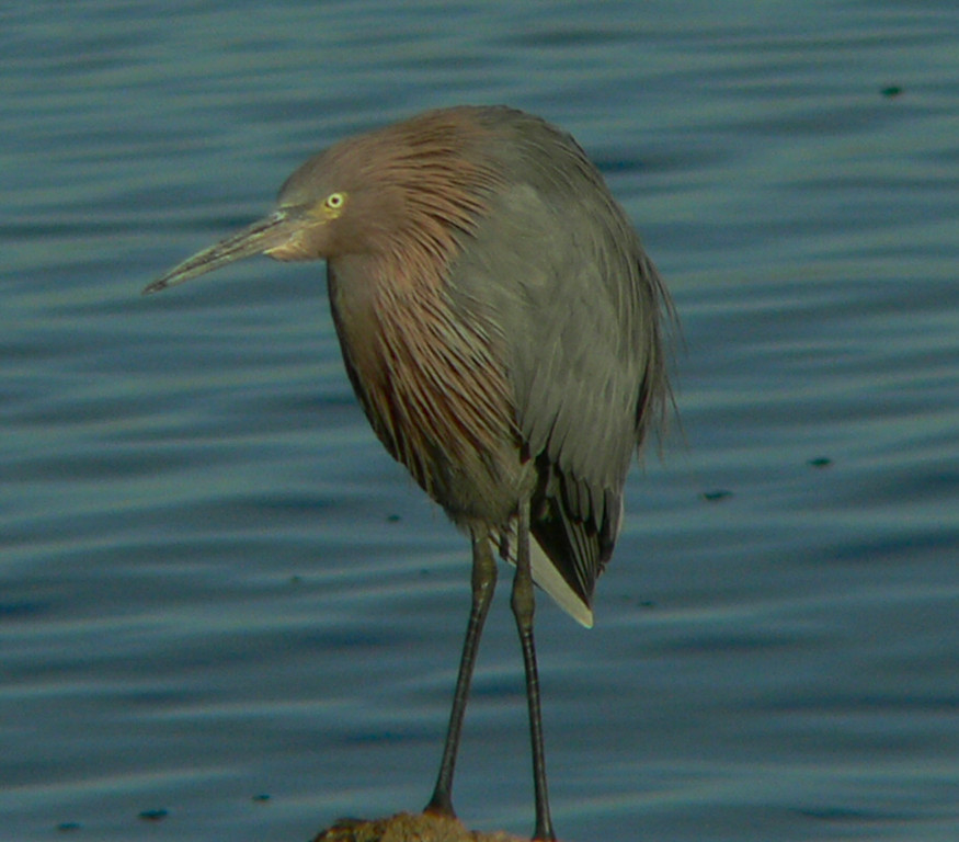 """A Reddish Egret, listed in Sibley's as a """"rare visitor from Mexico"""".  The US-Mexican border is approximately 30 miles south of here."""