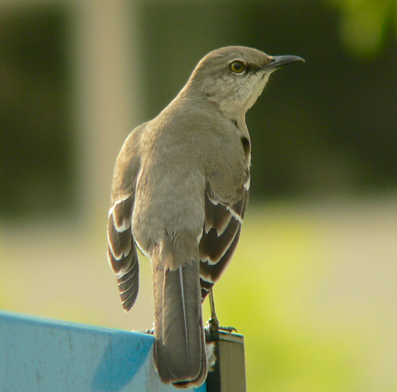 A Mockingbird in the Morn, Kaiser Hospital, Harbor City, CA.
