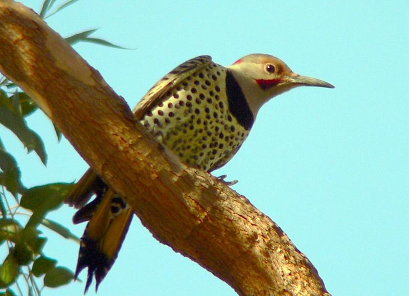 A hybrid Eastern-Western Northern Flicker, near Cabrillo Beach, LA, CA