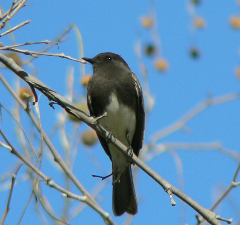 Black Phoebe, South Coast Botanical Gardens, Palos Verdes, CA