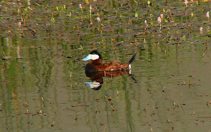 Ruddy Duck, Ruby Lake Nat'l Refuge, northern Nevada.
