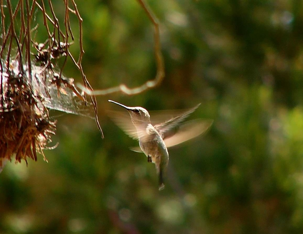 Hummingbird at Fort MacArthur upper reservation, San Pedro, CA
