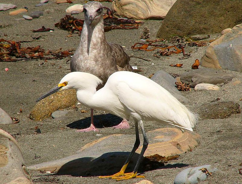 An exotic visitor...A snowy egret on the shore at Point Fermin, San Pedro, CA