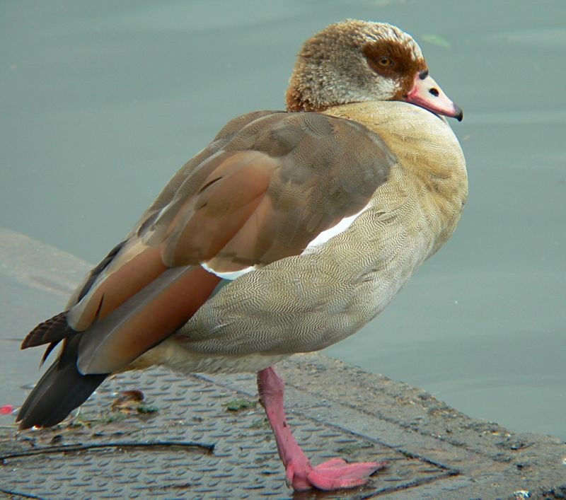 Egyptian Goose at suburban Carr Park, Huntington Beach, CA