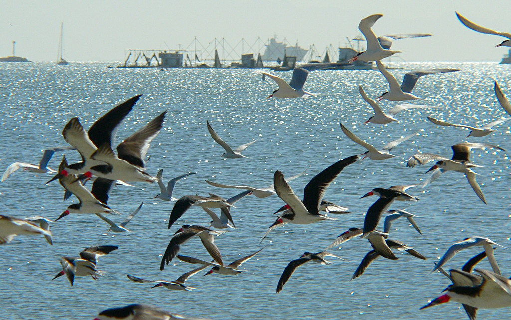 Terns and Black Skimmers in flight, Cabrillo Beach, San Pedro, CA.