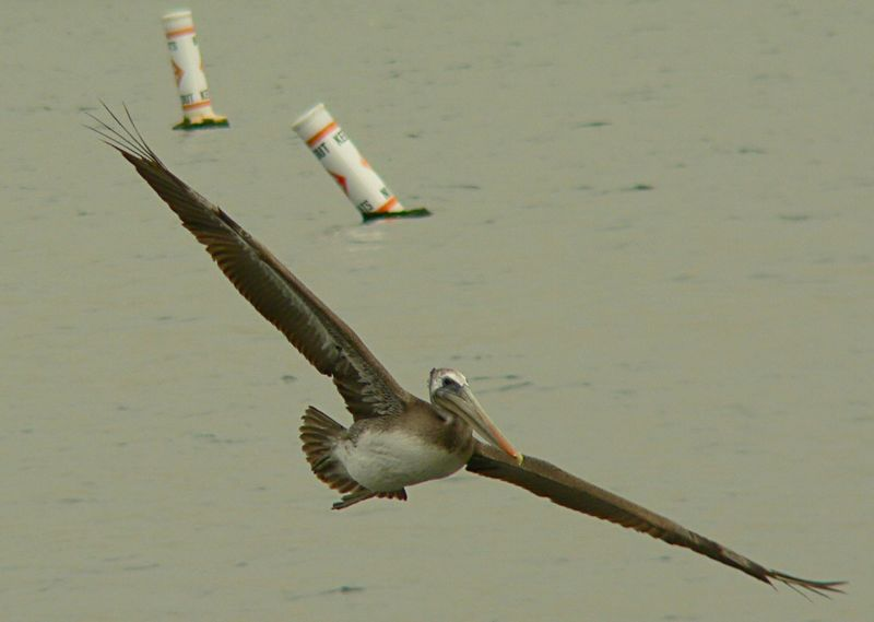 A PIF (Pelican-In-Flight) shot, Cabrillo Beach, San Pedro, CA