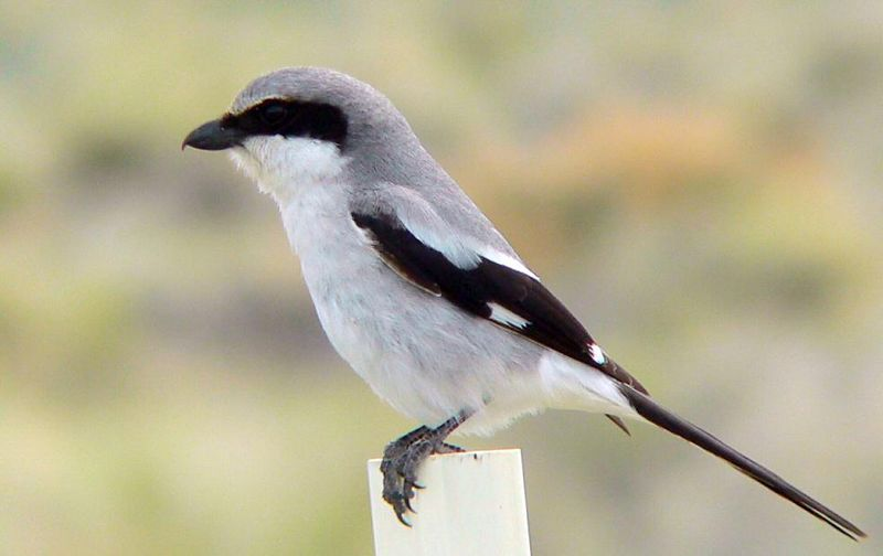 Loggerhead Shrike, Mono Lake, eastern California.