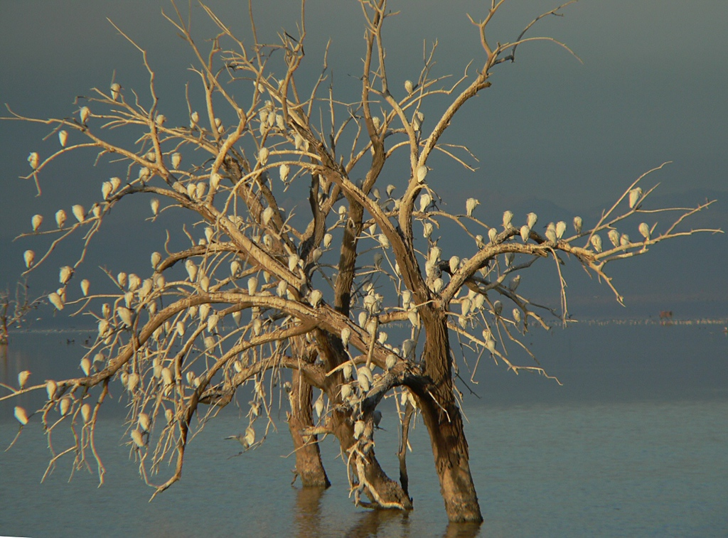 Early-morning sun on the Egret tree in the Salton Sea.