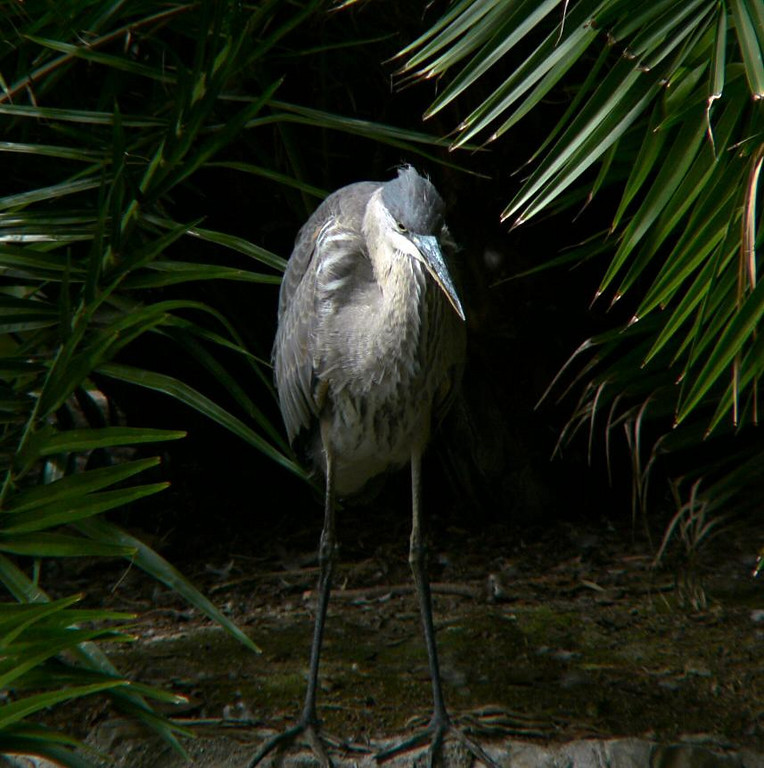 A young Great Blue Heron at Averill Park, San Pedro, CA., June 5 2004.