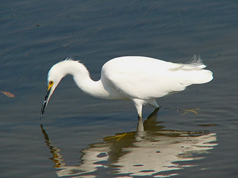 Snowy Egret in the shallows at Cabrillo Beach, CA