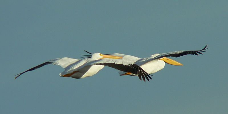 American White Pelicans flying away....of course...Salton Sea, CA