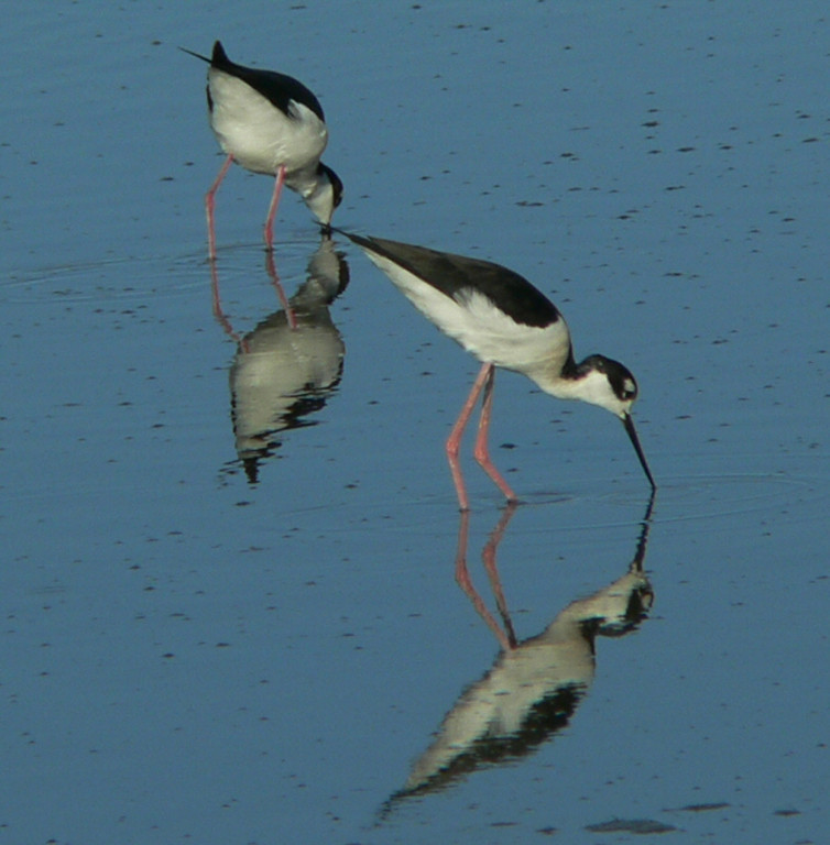 2 --- or is that 4? --- Black-Necked Stilts in the Salton Sea shallows.