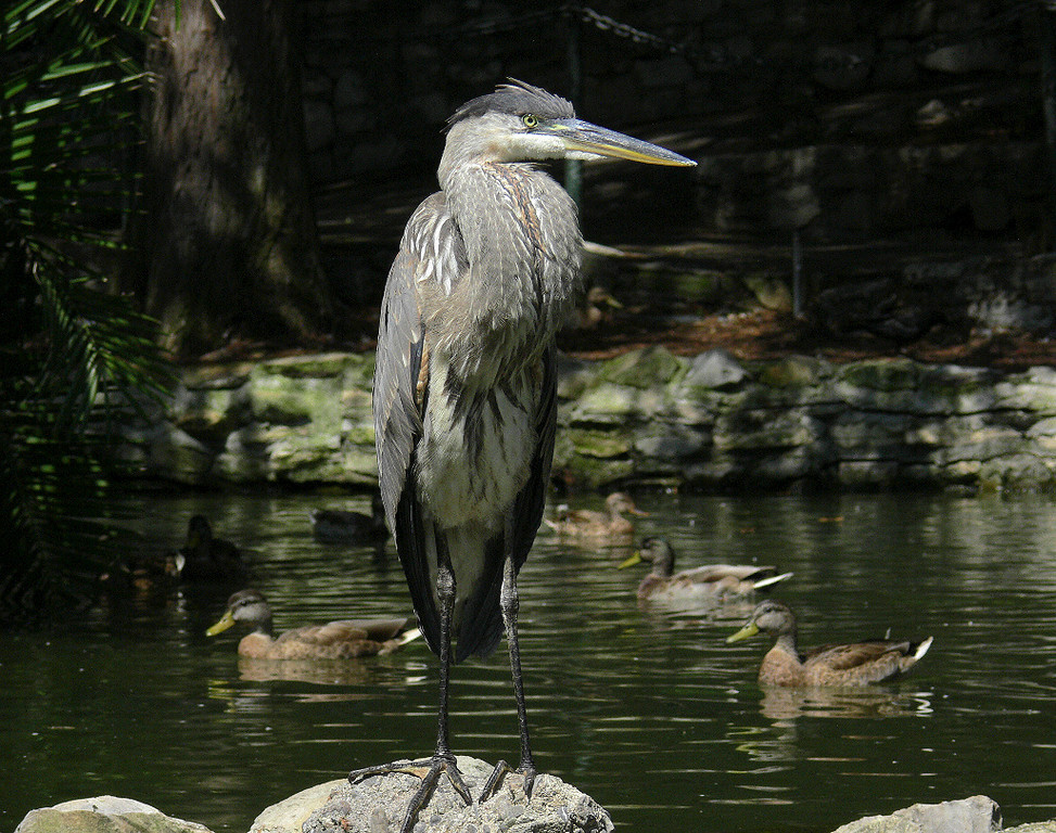 Great Blue Heron at Averill Park, August 20 2006.
