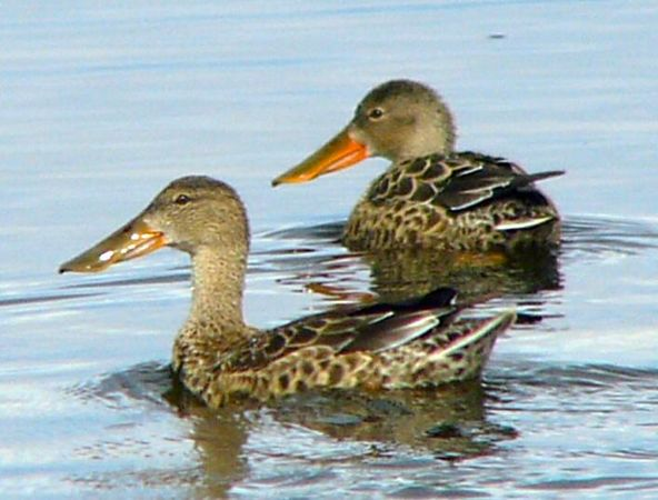 Northern Shovelers look like they're always smiling....at Ruby Lake Wildlife Refuge.
