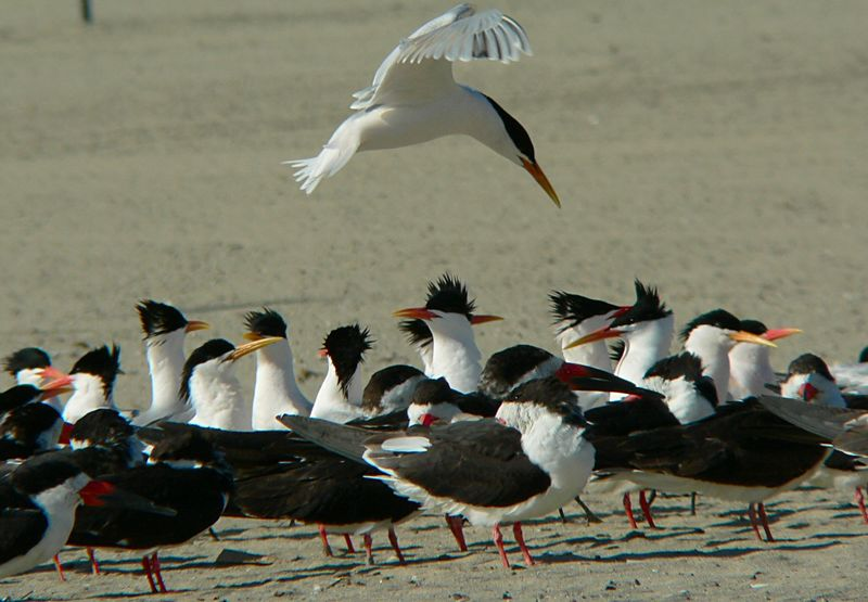 A Poised Tern above fellow Terns and Black Skimmers, Cabrilo Beach, San Pedro, CA.