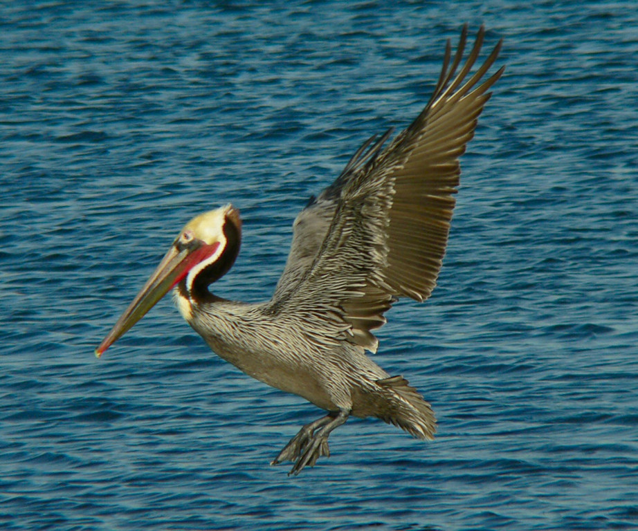 Pelican launch, Cabrillo Beach, San Pedro, CA