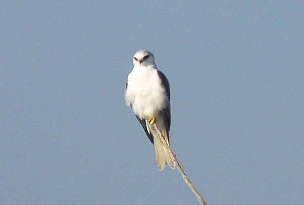 The park White-tailed Kite minding its own business...