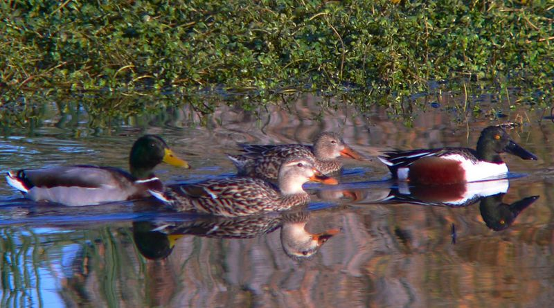 A Northern Shoveler male in breeding plumage trailed by a Shoveler female and a Mallard couple.