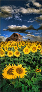 Sunflowers & Barn