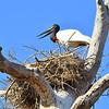 Jabiru Stork next