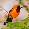 orange backed troupial