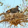 Plumbeous Ibis nest