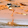 Pied Lapwing chick