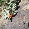 One globemallow flower at the summit.  I think it may have frozen in this position.