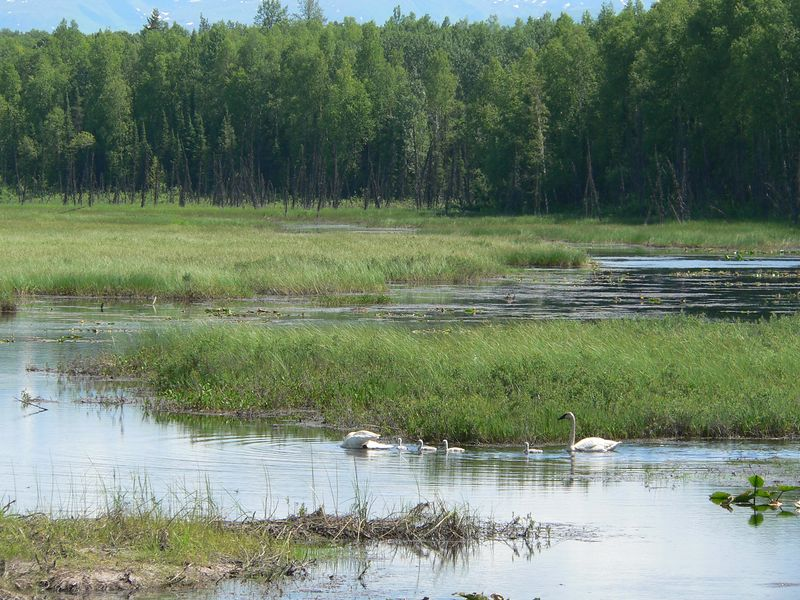 A family of Tundra Swans on a small marsh east of Parks Highway between Willow and Talkeetna