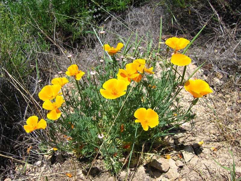 Wild Poppies <br /> California Poppy