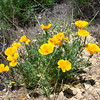 Wild Poppies <br /> California Poppy