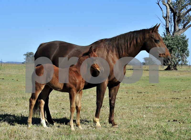 Docs Freckles Oak mare for sale with light o'lena filly at foot
