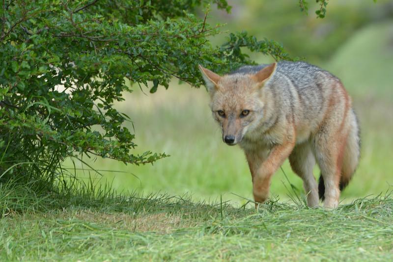 Chilean desert red fox