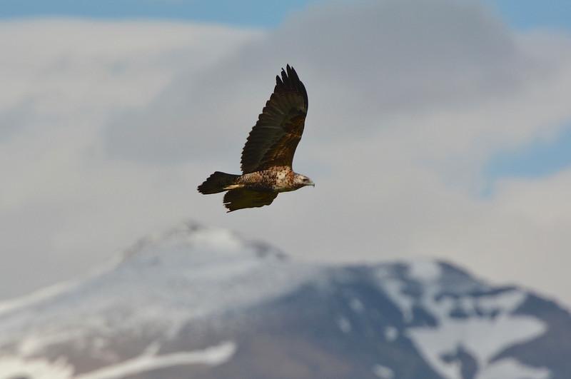 juvenile Black-chested Buzzard-Eagle