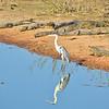 white necked heron