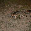 crabeater fox at night