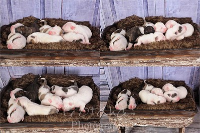 Patches puppies 4-21-16