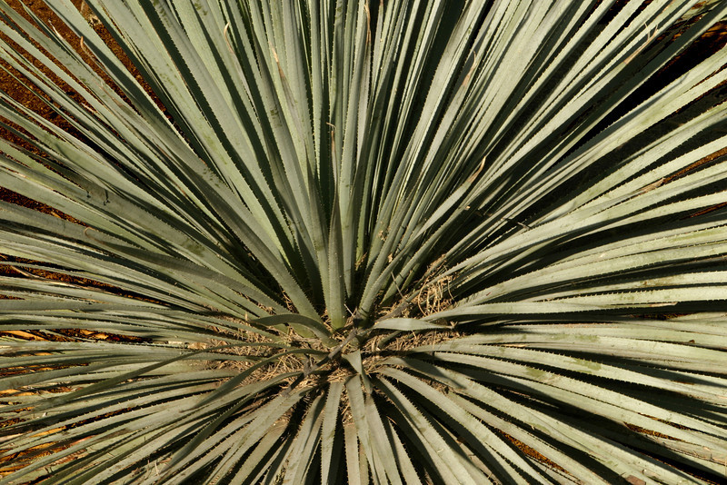 A close-up abstract image of a kind of cactus found in the Arizona desert. The fronds all spread out from the center of the plant in an almost even pattern.