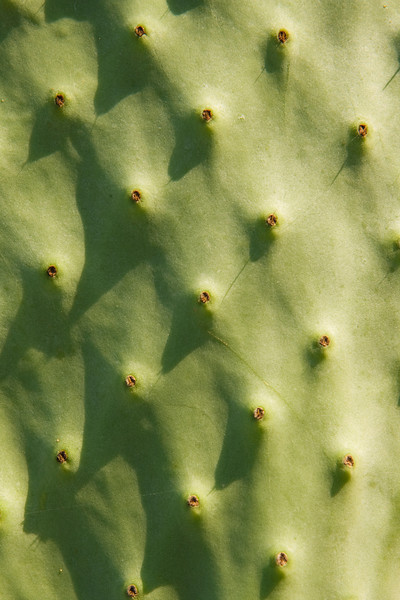 A macro view of the skin of a paw-paw cactus is almost abstract. The texture and pattern shows the detail of this plant.
