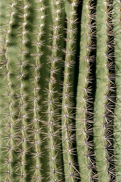 Closeup details from a saguaro cactus from the Sonora desert in Arizon. The sharp spines are nature's way of providing protection for the cactus from predators.