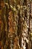 A vertical view of a large tree trunk with details of the moss and lichen that are growing amidst the gnarled cracks of the bark.