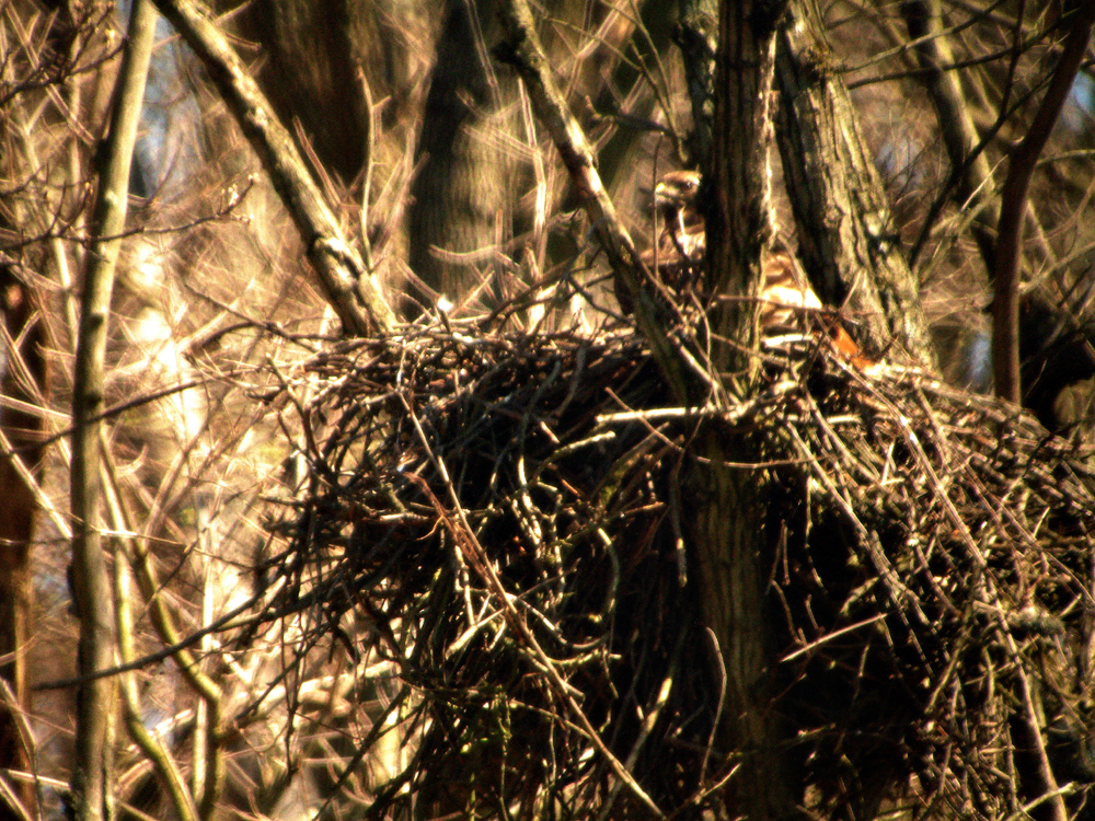 These 6 photos are of a nesting female red tail hawk with one baby chick.  The photos were taken outside of Washington Pa. In a small town called New Buffalo.  I took these photos with my etx 125 and a 40mm lens and a 2x tele mounted to my sony cyber shot.  The nest is about a good 400 yards away from the road that we were on.  This is the first nesting red tail hawk and chick that I have ever seen.