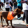 BANGOR, Maine -- 09/30/2017 - Dogs and their owners walk during the 24th annual Paws on Parade event at the Bangor Waterfront Saturday. The event featured a variety of sponsors, vendors, and highlights such as a pet costume contest and shelter dog runway show. The event helps raise funds to support the Bangor Humane Society. Ashley L. Conti | BDN