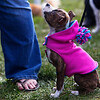 BANGOR, Maine -- 09/30/2017 - Pickles, a four-month old pit bull mix, looks up at her owner Erica Neal during the 24th annual Paws on Parade event at the Bangor Waterfront Saturday. The event featured a variety of sponsors, vendors, and highlights such as a pet costume contest and shelter dog runway show. The event helps raise funds to support the Bangor Humane Society. Ashley L. Conti | BDN