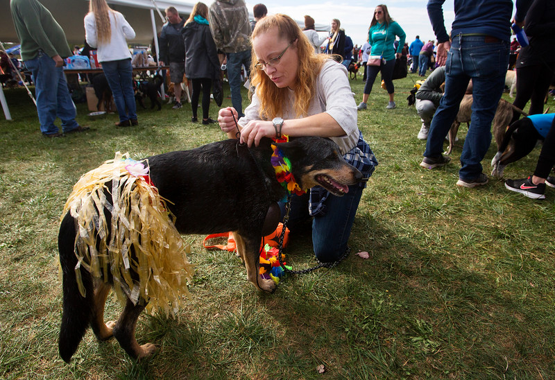 BANGOR, Maine -- 09/30/2017 - Chrissy Harrison dresses her Australian cattle dog Sidney up as a hula girl during the 24th annual Paws on Parade event at the Bangor Waterfront Saturday. The event featured a variety of sponsors, vendors, and highlights such as a pet costume contest and shelter dog runway show. The event helps raise funds to support the Bangor Humane Society. Ashley L. Conti | BDN