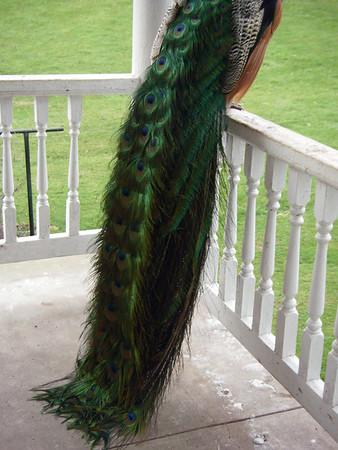 Peacock Pics