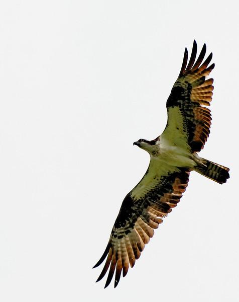Osprey in Flight - Lake Jordan