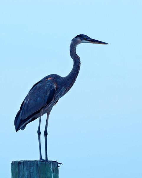 On Display -- Great Blue Heron in Hilton Head